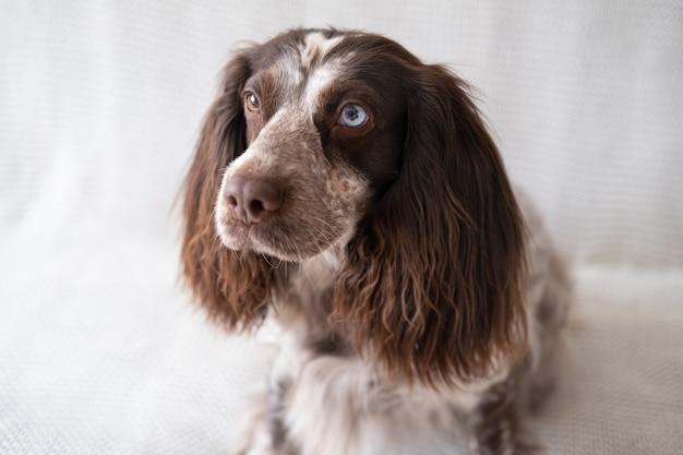 Rosyjski spaniel czekoladowy merle różne kolory oczy zabawny pies siedzieć na białej kratę. oddane oczy.