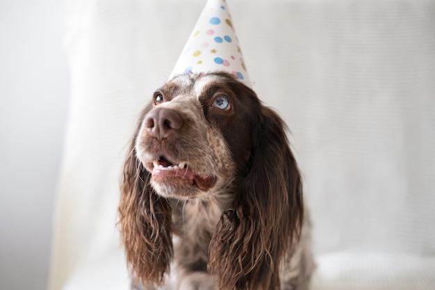 Rosyjski spaniel czekoladowy merle różne kolory oczy zabawny pies w czapce. święto. wszystkiego najlepszego z okazji urodzin. wesołych świąt.