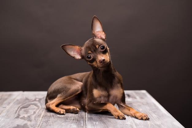 Rosyjski toy terrier pies