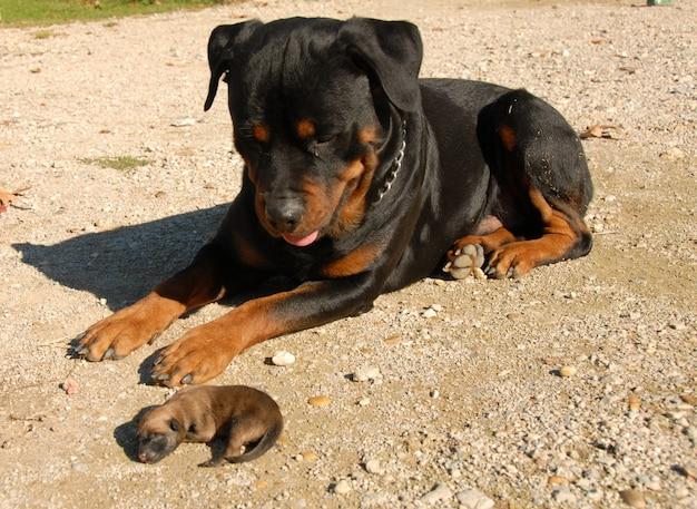 Rottweiler i szczeniak