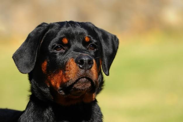 Rottweiler pies rasowy