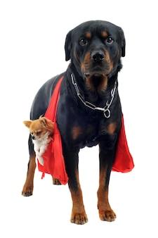 Rottweiler trzyma chihuahua
