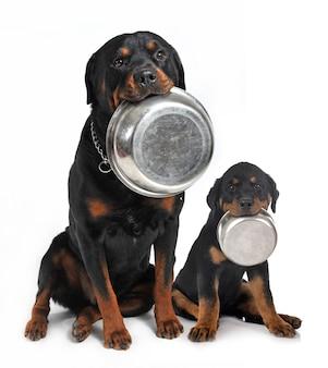 Rottweilery trzymające w ustach aluminiową miskę
