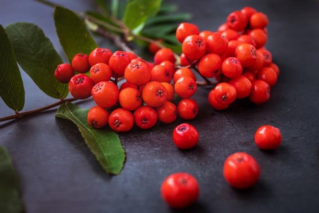 Rowan oddział z bliska świeże dojrzałe jagody na ciemnym tle.