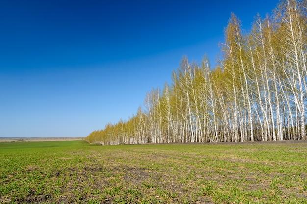 Równe brzozy do lądowania. brzozy z młodymi zielonymi liśćmi w słoneczny wiosenny dzień. wiosna krajobraz i błękitne niebo.