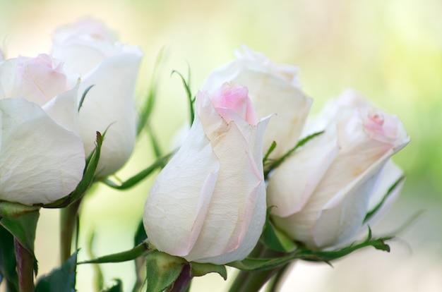 Róża na białym tle na zielonym tle