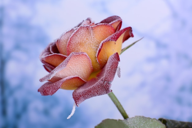 Róża pokryta szronem z bliska
