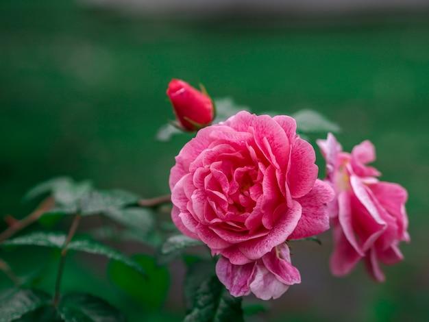Róża tła na walentynki