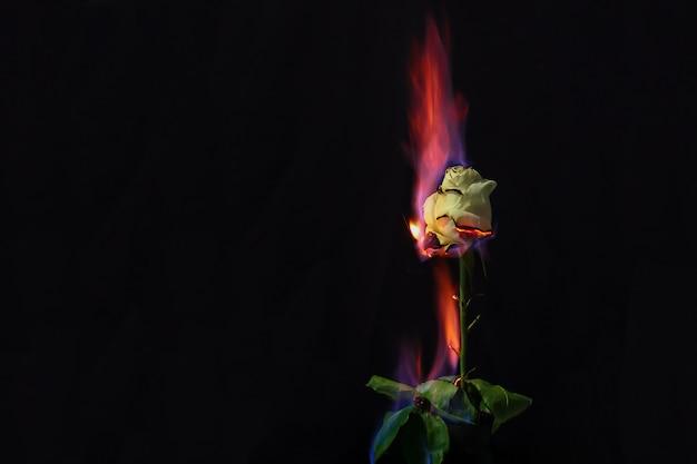 Róża w ogniu. piękna fotografia białej róży w ogniu