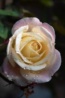 Róża z kroplami rosy na płatkach na ciemnym tle