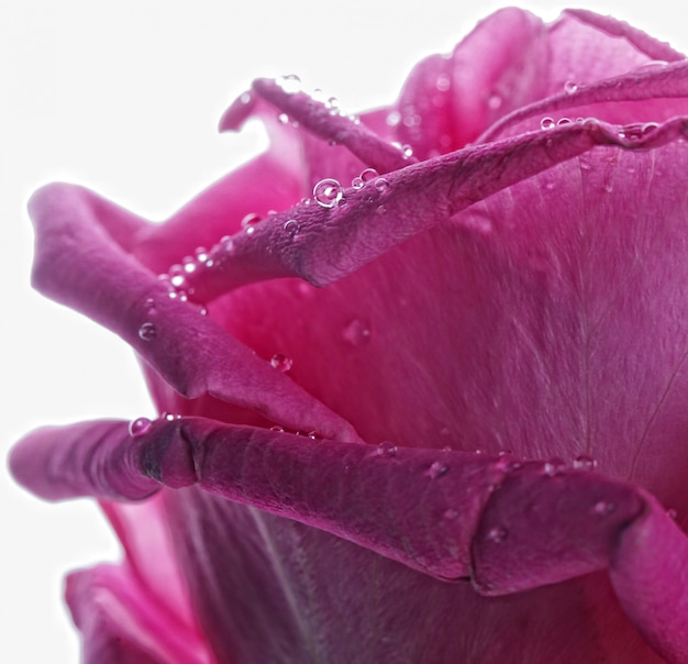 Róża z kropli wody z bliska