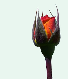 Róża za chwilę rozkwitnie na białym tle narodziny kwiatu wiosna rozkwita