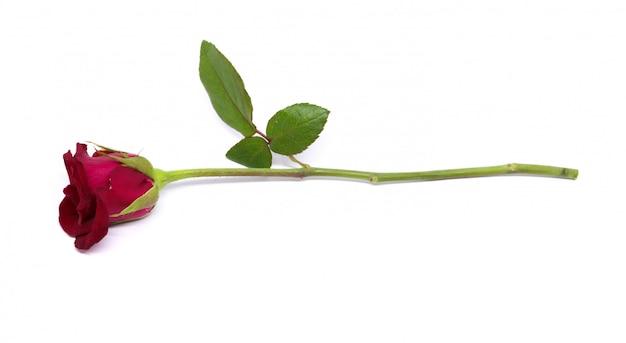 Różany kwiat odizolowywał studio strzelającego na bielu