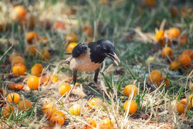 Różany szpak (sturnus roseus) stoi na trawie wśród owoców wiśniowej śliwki.