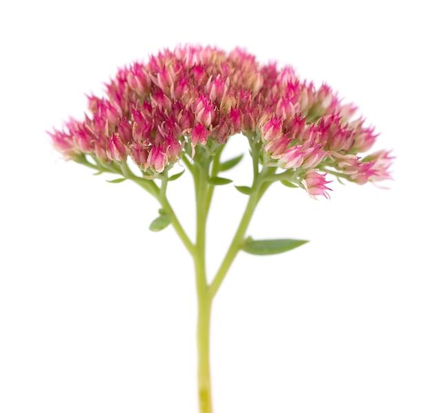 Rozchodnik kwiaty na białym tle. hylotelephium spectabile lub efektowna rozchodnik.