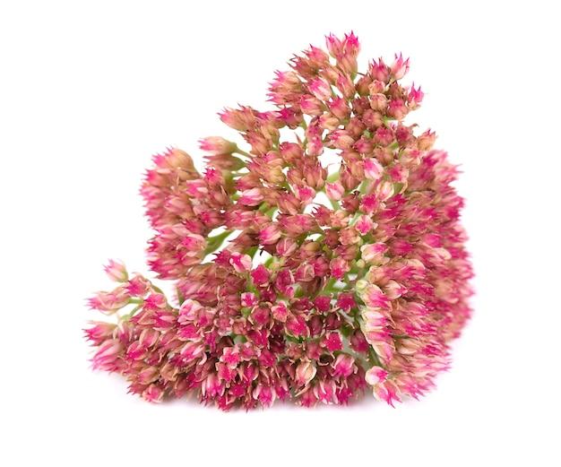 Rozchodnik kwiaty na białym tle hylotelephium spectabile lub efektowny rozchodnik