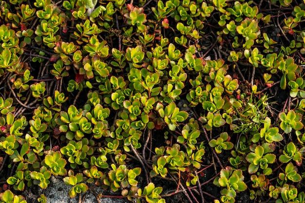 Rozchodnik rośnie na ziemi wiosną. zielona roślina pokryta ziemią. obraz tła sukulentu na wiosnę. zielona naturalna tekstura od rośliny z czerwonymi małymi liśćmi.
