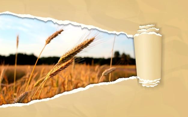 Rozdarty papier z krajobrazem pola pszenicy w otwierającym tle