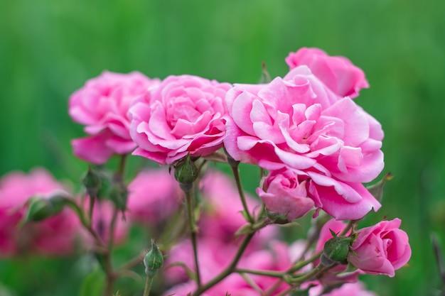 Róże kwitną w ogródzie. nieostrość. tapetą z motywem kwiatowym, tło.