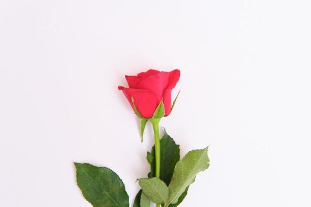 Róże leżące na białym tle