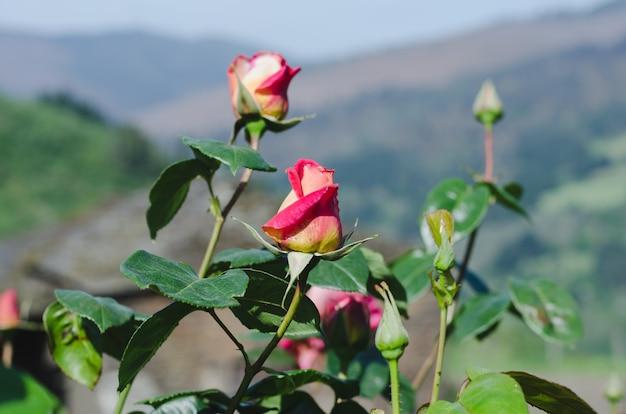 Róże na krzaku róży z nieostrym tłem.