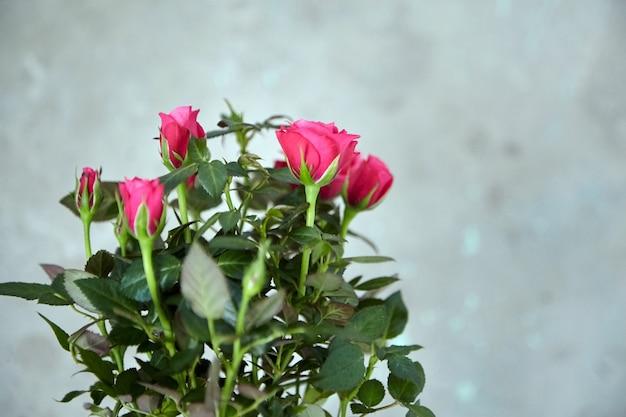 Róże na tle niewyraźne betonowe ściany. roślina doniczkowa, kwiaty w pomieszczeniach, nieostrość