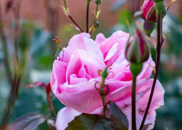 Róże ogrodowe róże mogą miesiącem miesiąca matki