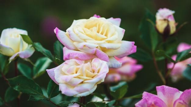 Róże ogrodowe w rozkwicie zbliżenie. żółto-różowa pozytywka (rosa baibox) wyhodowana przez ping lim, 2012