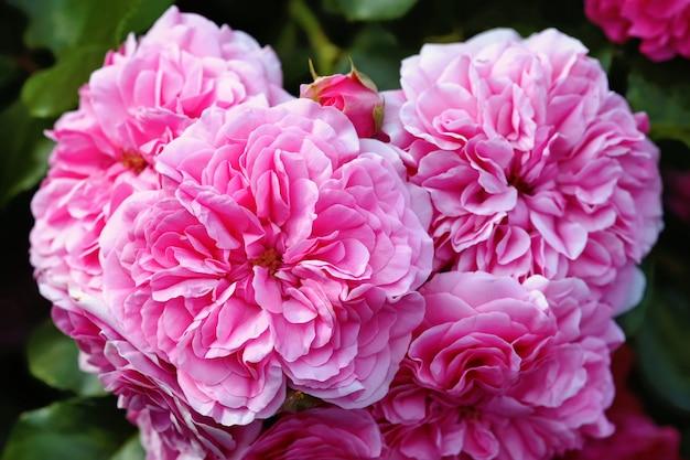 Róże olia, róża prowansji lub róża kapusty lub rose de mai