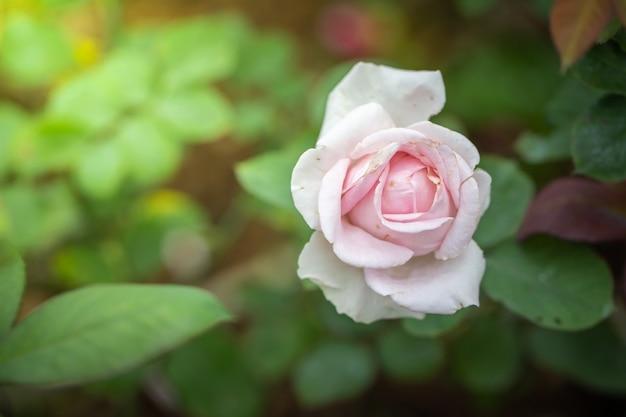 Róże w ogrodzie, piękny słoneczny dzień.