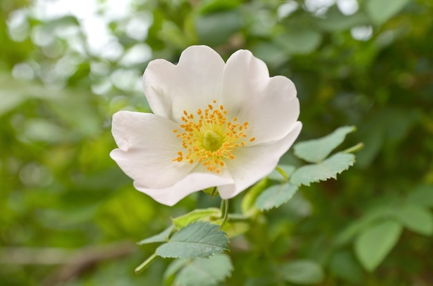 Róże z rodzaju dzikiej róży zwanej rose canina, dog rose