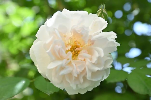 Róże z rodzaju dzikiej róży zwanej rose odorata