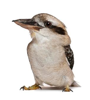 Roześmiany kookaburra, dacelo novaeguineae, mięsożerny ptak z rodziny zimorodek, stojący przed białą powierzchnią