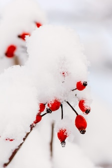 Rozgałęzia się z czerwonymi jagodami dzika róża w śnieżnym zbliżeniu.