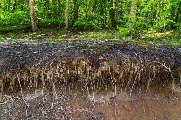 Rozgałęzione, gołe korzenie drzew