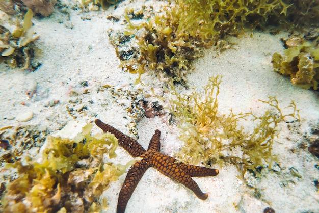 Rozgwiazda na dnie oceanu indyjskiego w pobliżu wyspy mauritius. rozgwiazda i rafa koralowa wyspy mauritius