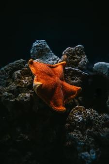 Rozgwiazda pomarańczowa