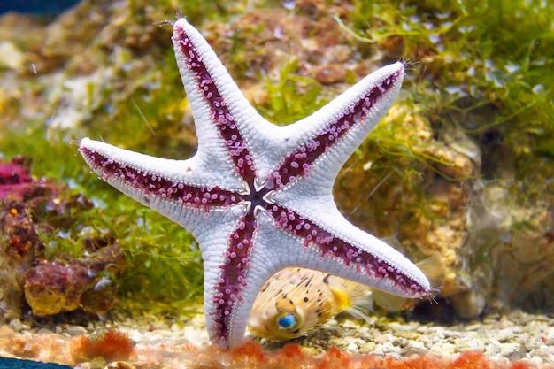 Rozgwiazda przykleja się do szyby w akwarium.
