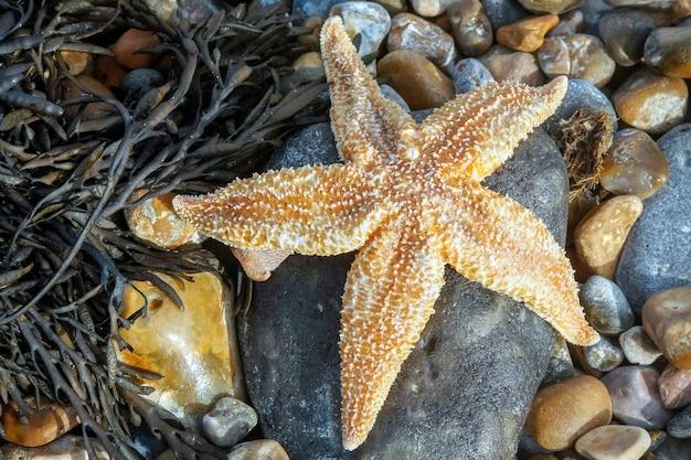 Rozgwiazda zwyczajna (asterias rubens) wyrzucona na brzeg w dungeness