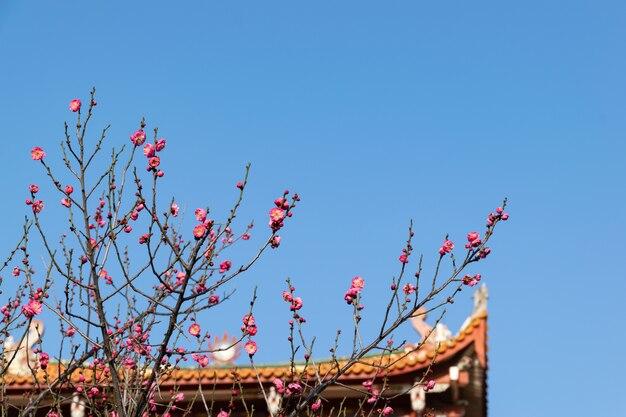 Rozkwitające w świątyni kwiaty śliwy uzupełniają się architekturą