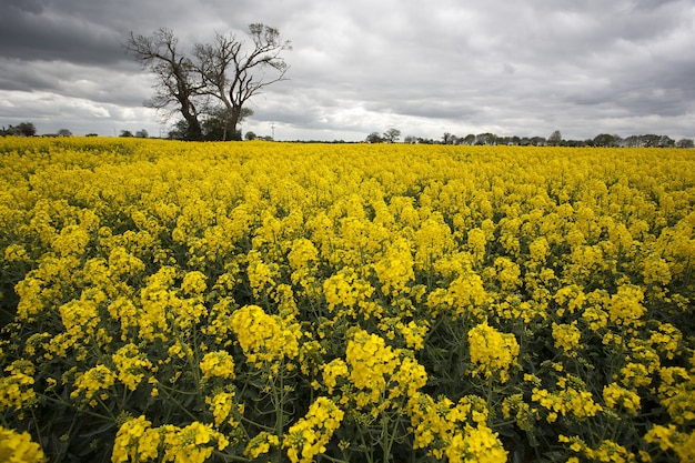 Rozległe pole z żółtym rzepakiem i jednym drzewem w norfolk w wielkiej brytanii