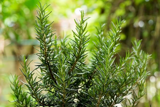 Rozmaryn i zielone liście na tle przyrody