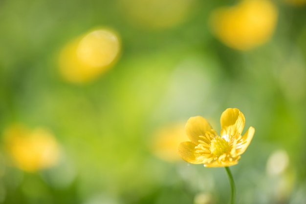 Rozmyty tło wiele żółtym kwiatem w polu na ranku.
