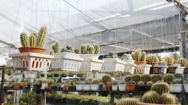 Różna gama roślin domowych z rodziny kaktusów wystawiana w szkółce