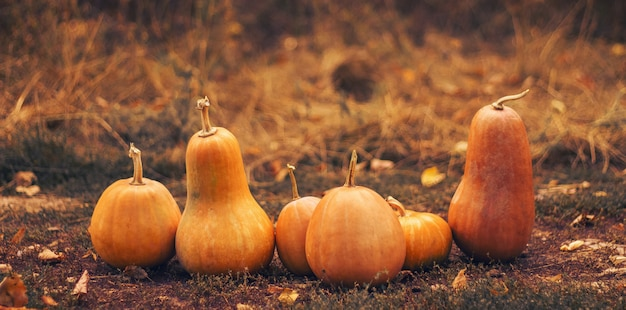 Różne kształty pomarańczowe dynie na suszonej trawie.