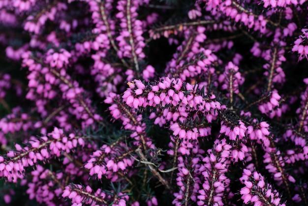Różne kwiaty wrzosu z bliska