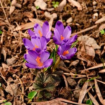 Różne Pierwsze Wiosenne Kwiaty Rosną W Glebie Z Bliska W Parku Narodowym. Shallow Dof Premium Zdjęcia