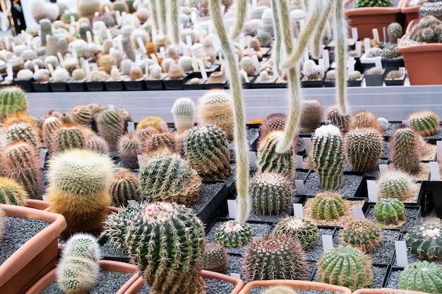 Różnorodność roślin kaktusowych na wystawie na farmie kaktusów. ekologiczne tło w neutralnych kolorach z sukulentami roślin doniczkowych.