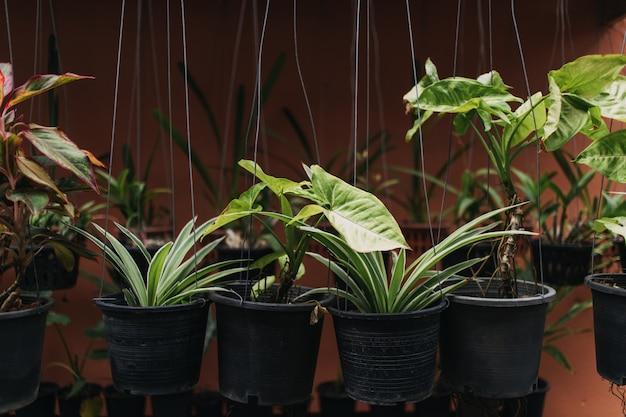 Różnorodność zielone wiszące rośliny w plastikowych garnkach.