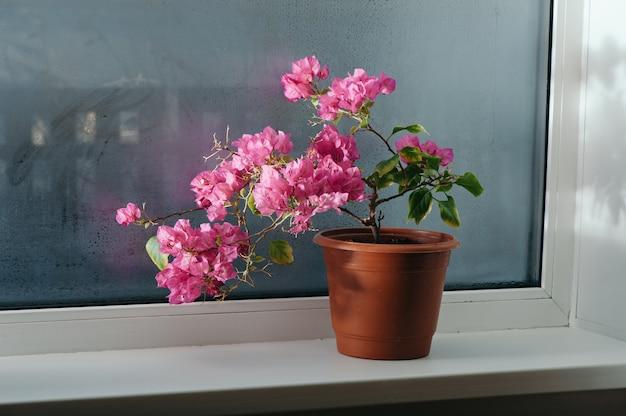 Różowa bugenwilla rośnie w doniczce na parapecie.